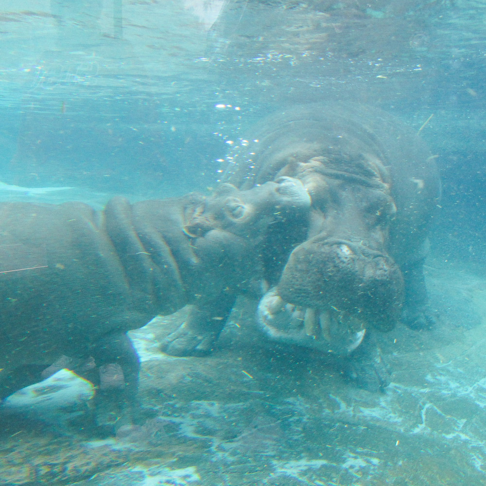 baby hippo and mum