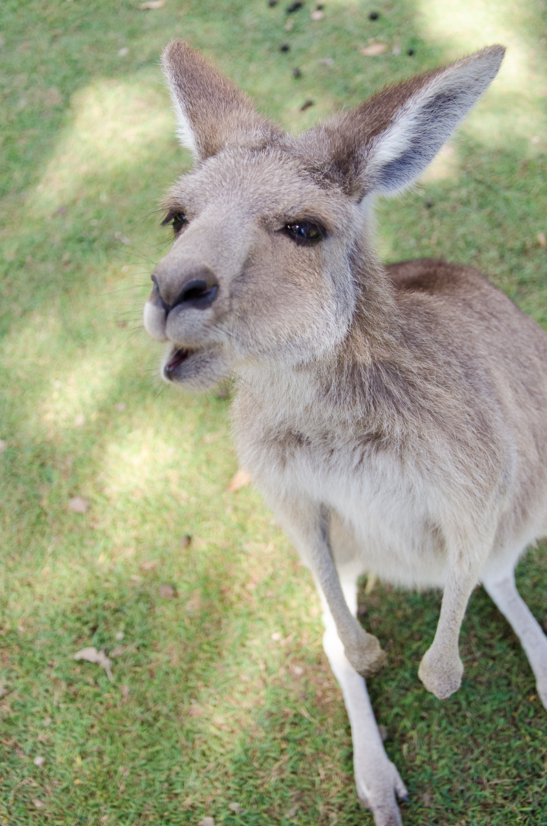 hungry kangaroo